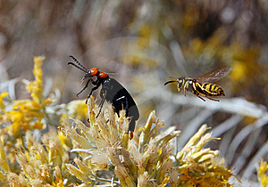 Yellow Jacket And Desert Blister Beetle Royalty Free Stock Image - Image: 6560406