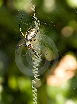 Orb Weaver Spider Royalty Free Stock Photography - Image: 6561167