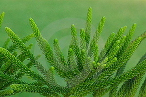 Evergreen Pins Royalty Free Stock Photos - Image: 6561288