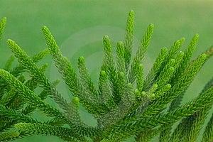 Evergreen Pins Royalty Free Stock Photos - Image: 6561288