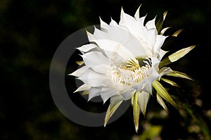 Cactus Flower Against Dark Background Stock Image - Image: 6565671