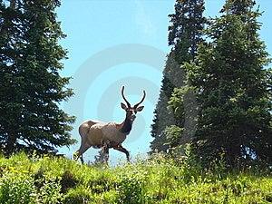Spike Elk Stock Images - Image: 6569554