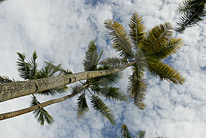 Multiple Palm Trees Royalty Free Stock Image - Image: 6570056