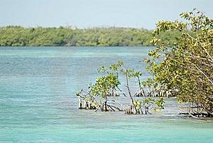 Mangrove, Caye Caulker, Belize Stock Image - Image: 6570601