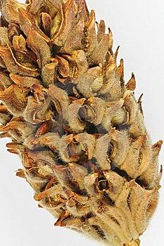 Dryed Mognolia Bud Royalty Free Stock Photo - Image: 6577155