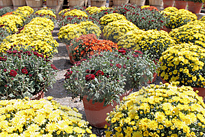 Autumn Mums Royalty Free Stock Photos - Image: 6581798
