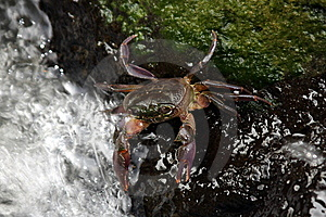Freshwater Crab Stock Images - Image: 6587254