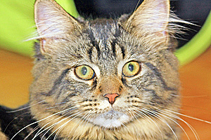 Maine Coon Stock Photos - Image: 6589333