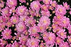 Autumn Mums Stock Photos - Image: 6593533