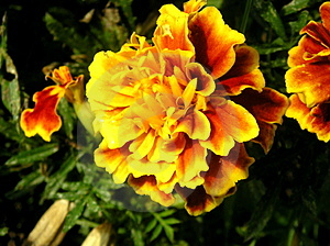 The Flower That Looks Like The Sun Stock Image - Image: 664061