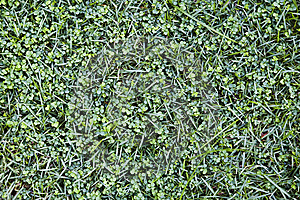 Many Clovers Royalty Free Stock Image - Image: 6603476