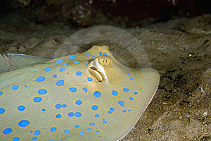 Bluespotted Stingray (taeniura Meyeni) Stock Photo - Image: 6605320