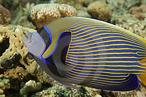 Emperor Angelfish (pomacanthus Imperator) Royalty Free Stock Images - Image: 6605439