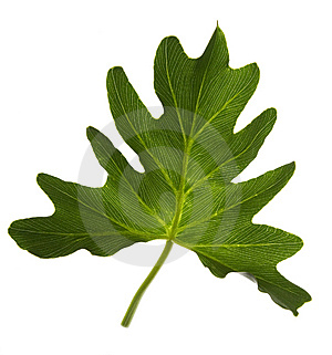 Green Leaf Isolated On White Royalty Free Stock Photo - Image: 6605675