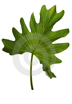 Green Leaf Isolated On White Royalty Free Stock Images - Image: 6605679
