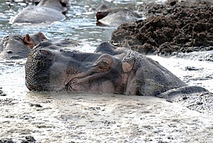 Hippo In Dirt Royalty Free Stock Image - Image: 6607046