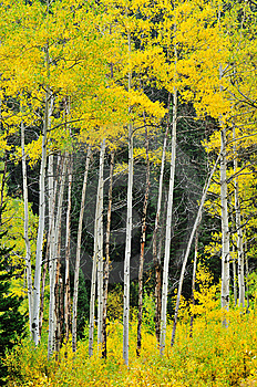 Foliage Of Aspen Stock Photos - Image: 6613903