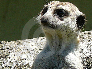 Meerkat Stock Photos - Image: 6616623