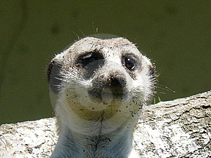 Meerkat Royalty Free Stock Images - Image: 6616639