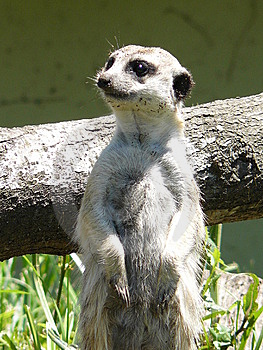 Meerkat Royalty Free Stock Images - Image: 6616699