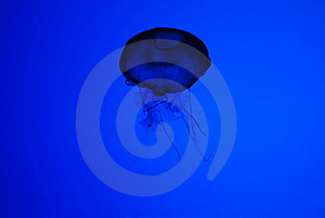 Jellyfish Silhouette Royalty Free Stock Photo - Image: 6617045