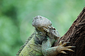 Lizard Stock Photography - Image: 6620132