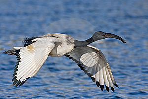 African Sacred Ibis Stock Photography - Image: 6620972