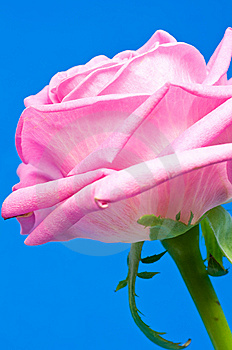 Pink Rose Royalty Free Stock Images - Image: 6621749