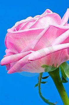 Pink Rose Royalty Free Stock Images - Image: 6621749