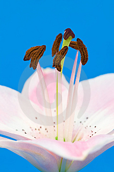 Pink Lily Royalty Free Stock Image - Image: 6622086