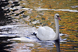 Swan Royalty Free Stock Photo - Image: 6622145