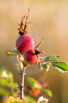 Rose Hips Stock Image - Image: 6622291