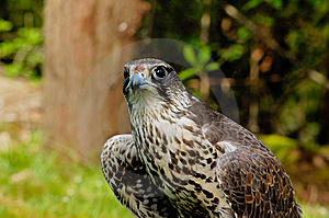 Saker Falcon Stock Images - Image: 6623724