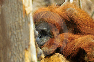 Sad Orangutan Stock Photo - Image: 6627620