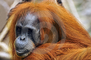 Sad Orangutan Royalty Free Stock Images - Image: 6627629