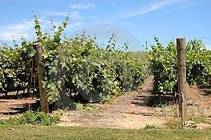 English Vineyard Stock Photo - Image: 6632860