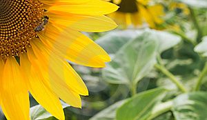 Sunflower Background Royalty Free Stock Photography - Image: 6636817