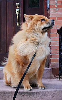 Chow Chow Dog On Stoop Stock Photography - Image: 6638662