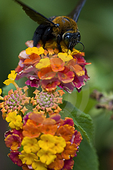 Senior Bee Royalty Free Stock Photo - Image: 6640325