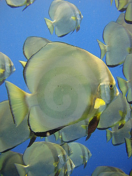 Batfish Stock Photos - Image: 6644913
