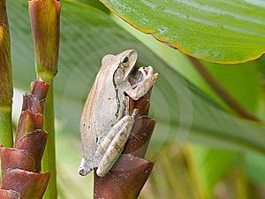 Frog On Tubular Bract Stock Image - Image: 6647601