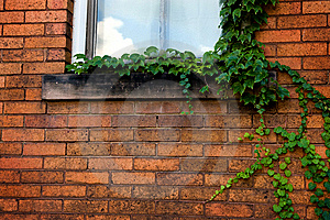 Green Ivy On Brick Wall Royalty Free Stock Photography - Image: 6652947