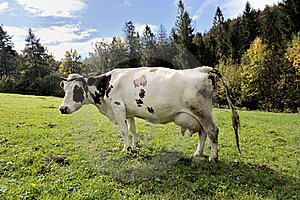 Cow On Meadow Stock Photo - Image: 6654200