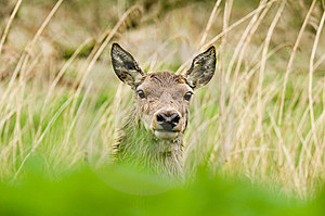 Deer Royalty Free Stock Photography - Image: 6655587