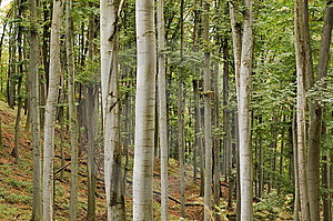 Beech Forest Stock Photos - Image: 6658173