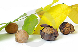 Fresh Walnut And Leaf Royalty Free Stock Photo - Image: 6659495