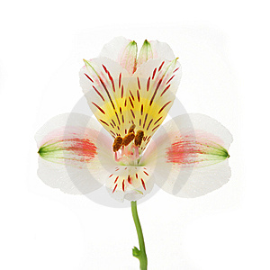 Day Lilly Blossom Royalty Free Stock Images - Image: 6669469