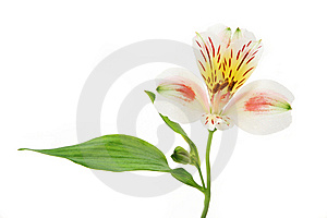 Mottled Day Lilly Royalty Free Stock Photos - Image: 6669478