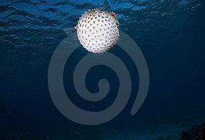 Yellowspotted Burrfish (cyclichthys Spilostylus) Stock Image - Image: 6672181