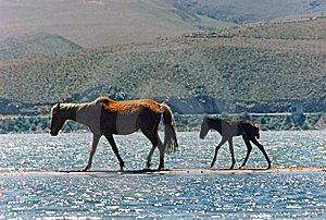 Mare And Foal Walking By The Sandbar On The Lake Royalty Free Stock Photography - Image: 6673507